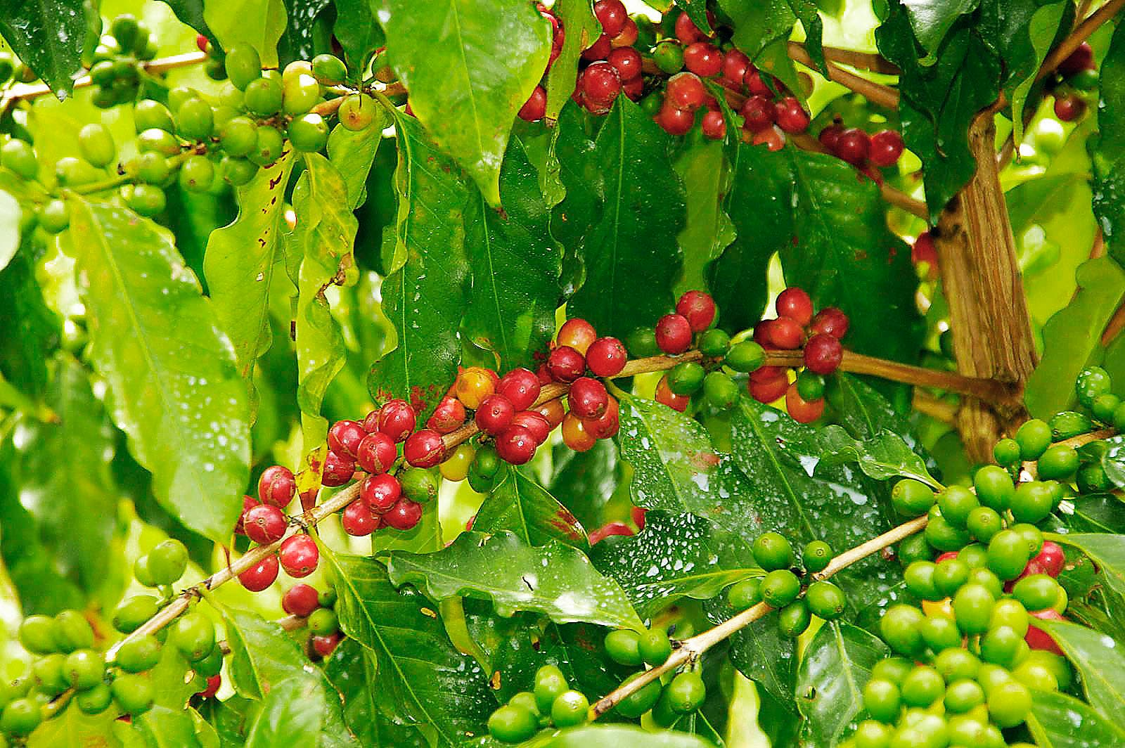 Starbucks to help local coffee farmers