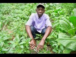 Carl Smith, known as John Wayne, in his house-side callaloo farm located at Greenwich Road, St Andrew.             Gladstone Taylor