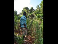 A ganja farm in a rural district in Jamaica.