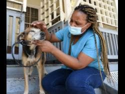 Dr Terrina Jones, a veterinarian at the Jamaica Society for the Prevention of Cruelty to Animals, checks a dog for any ailments.