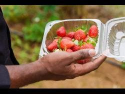 Ninety per cent of the strawberry consumed in the country is imported, and Delano Grant is determined to help increase local production.