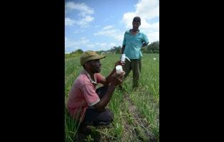 Scallion farmers in Comma Pen, St Elizabeth, launching an attack on the beet armyworm.