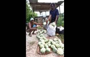 Melford Spencer (left), Goldburn Simpson (centre) and Linval Witter, farmers in Red Bank, St Elizabeth, pack vegetables for market.