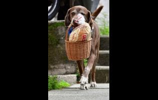 "Eros carries a basket of bread from the El Porvenir mini-market as he makes a delivery on his own in Medellin, Colombia, on Tuesday. The eight-year-old chocolate Labrador remembers the names of customers who have previously rewarded him with treats, and with some practice, he has learned to go to their houses on his own. ""He helps us to maintain social distancing,"" said Eros' owner Maria Natividad Botero, amid the COVID-19 pandemic."