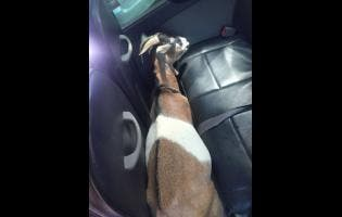 One of the eight goats recovered by St Thomas police on Tuesday.