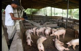 Dale Muir washes a pigsty at Rocksprings Farm in Rockfort, Kingston.