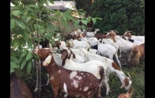 As much as 85 per cent of goat meat consumed in Jamaica is imported.