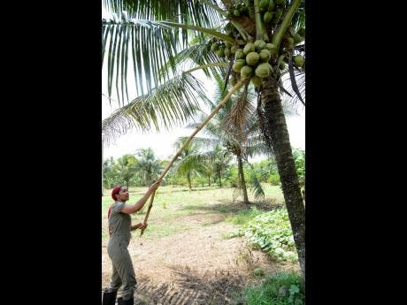 Watch yuh head! D'Angel tries to pick jelly coconuts.