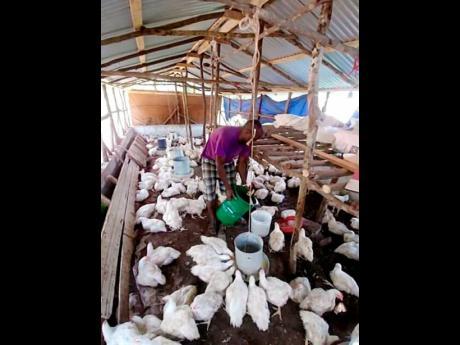 Rashford feeds his chickens.