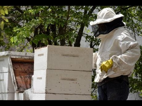 Geoffery McKoy, the overseer for an apiary owned by the Greater Brown's Town Community Development Council  in Franklin Town, Kingston.