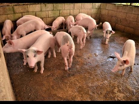 When piglets are born, they are given vitamins and their teeth and tails are cut.