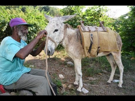 Thomas Johnson, resident of British in Clarendon, tends to his donkey, which is the prime mode of transportation for residents in this small, hilly rural community.