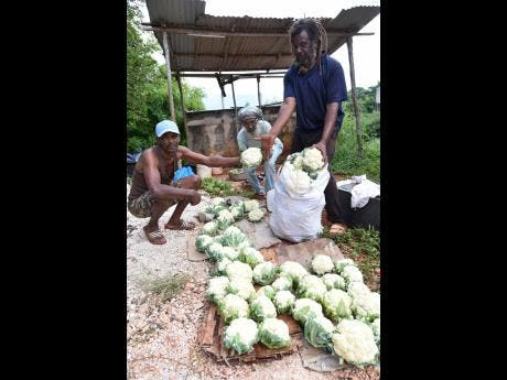 Melford Spencer (left), Goldburn Simpson (centre) and Linval Witter, farmers in Red Bank, St Elizabeth, pack vegetables for market.