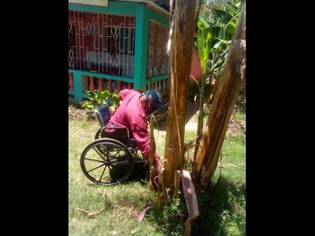 Josiah Shaw tends to a banana tree at his home in Content, St James.