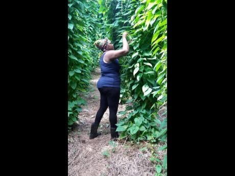 Shermaine Barnett in her sweet yam field.