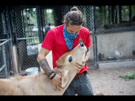 Brown pats Patches, a calf who came to the Hope Zoo after being rescued from a slaughter house.