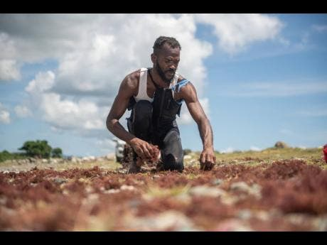 Sheldon Napier sorts through his catch  of Irish moss along the Roselle Beach in St Thomas last Friday.