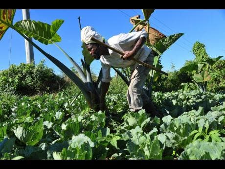 Norman Spence, a blind farmer, checks his cabbage patch  on his farm in Kilmarnock, St Elizabeth.