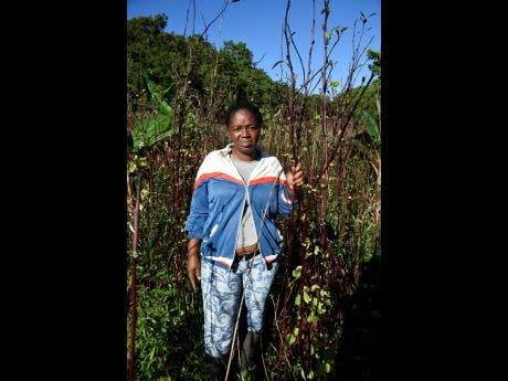 The idea of a merry Christmas is furthest from the mind of Marlene  Parke, who was banking on her sorrel crop to provide her with money to treat her children this holiday season.