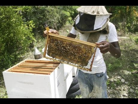 Damion Grant, a young beekeeper of Wheeler Field, St Thomas, is among the 3,000 investors in the business islandwide.